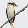 Laughing Kookaburra, Federation Walk Nature Reserve, Gold Coast, Queensland.