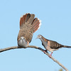 Bar-shouldered Dove. Male breeding display. The Spit Nature reserve, Gold Coast, Queensland.