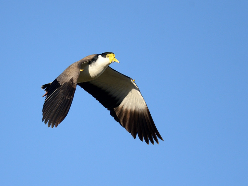 Masked Lapwing, The Spit, Gold Coast, Queensland.