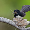 Willy Wagtail,  Federation Walk Nature Reserve, Gold Coast, Queensland.