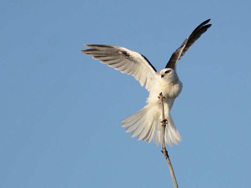 Australian Black-shouldered Kite, Spit, Gold Coast, Queensland.