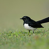 Willie Wagtail, The Spit, Gold Coast, Queensland.