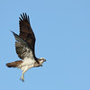 Eastern Osprey, The Spit, Gold Coast, Queensland.