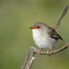 Superb Fairy-wren, Narrowneck,Gold Coast, Queensland.