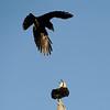 Osprey and Crow, Gold Coast, Queensland.
