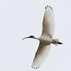 Australian White Ibis, The Spit, Gold Coast, Queensland.