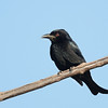 Drongo,The Spit, Gold Coast, Queensland.