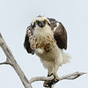 Osprey, Fish Hawk, Gold Coast, Queensland.