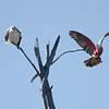 Kite and Galah, The Spit, Gold Coast, Queensland.