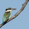 Sacred Kingfisher, Spit, Gold Coast, Queensland.