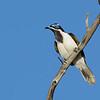 Blue-faced Honeyeater, Federation Walk Coastal Reserve.