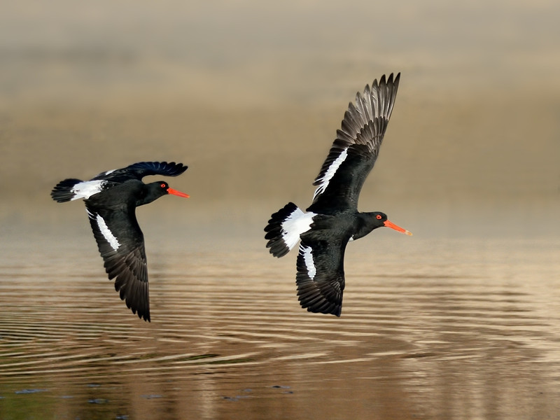 Pied Oystercatcher, The Spit, Gold Coast, Queensland.