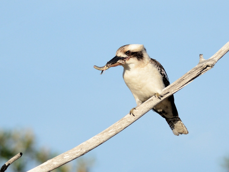 Laughing Kookaburra, The Spit, Gold Coast, Queensland.