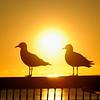Seagulls, Surfers Paradise, Gold Coast, Queensland.