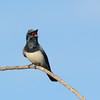 Leaden Flycatcher, The Spit, Gold Coast, Queensland.