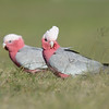 Galahs, The Spit, Gold Coast, Queensland.