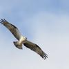 Eastern Osprey, The Spit, Gold Coast, Queensland.
