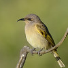 Brown Honeyeater, Gold Coast, Queensland.