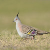 Crested Pigeon, The Spit, Gold Coast, Queensland.