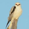 Black-shouldered Kite, Federation Walk Coastal Reserve.