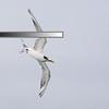 Tern, The Broadwater. Gold Coast