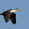 Pied Cormorant, The Broadwater