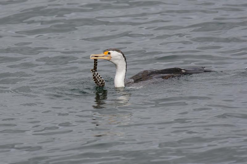 Pied Cormorant,The Broadwater.