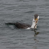Pied Cormorant, The Broadwater.