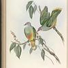 Swainson's Fruit Pigeon (Ptilinopus swainsonii)