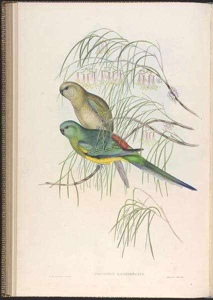 Red-backed Parrakeet (Psephotus haematonotus)