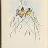 Gouldian Finch (Amadina Gouldiae)