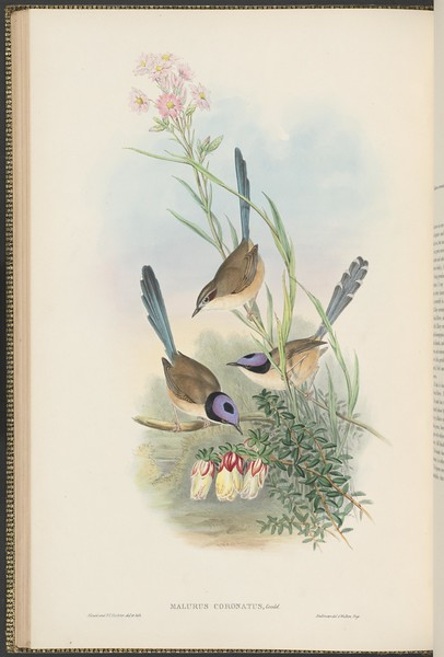 Crowned wren  (Malurus coronatus)