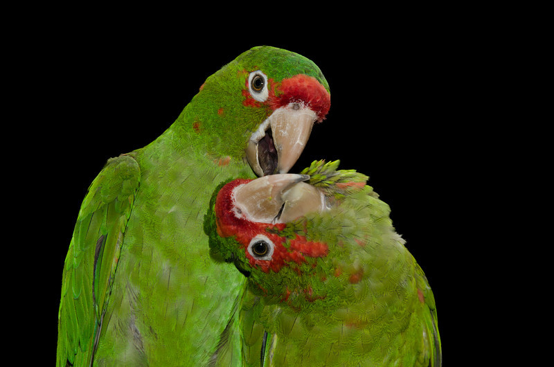 Mitred Conures