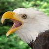 Bald Eagle Sitka Alaska