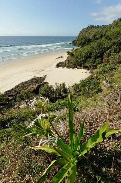 Whites Beach Crinum pendunculatum
