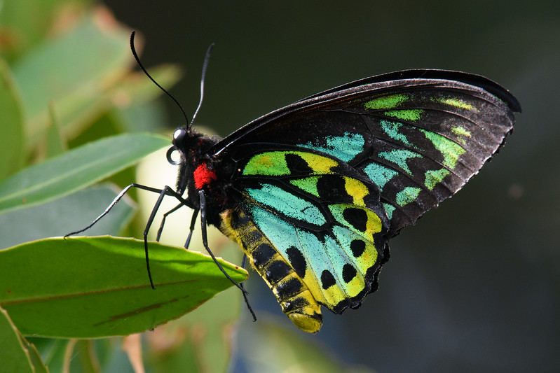 Richmond birdwing butterfly (Ornithoptera richmondia)
