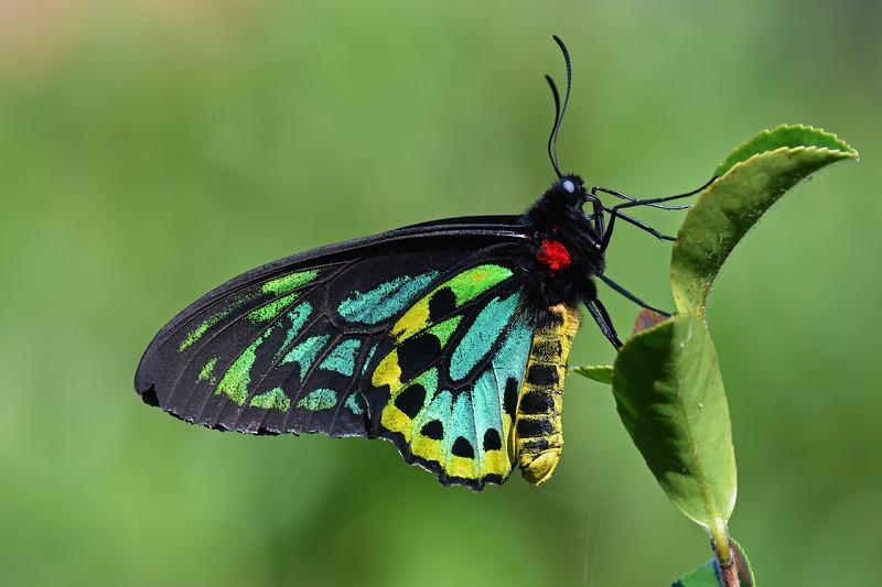 Richmond birdwing butterfly (Ornithoptera richmondia)