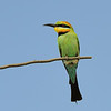 Rainbow Bee-eater, Seven Mile Beach, New South Wales.