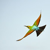 Rainbow Beeeater, Seven Mile Beach, New South Wales.