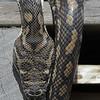 Python snake, Seven Mile Beach, N.S.W.