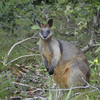 Black Wallaby @ Linnaeus Byron Bay