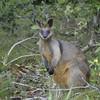 Black Wallaby @ Linnaeus Byron Bay