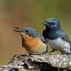 Leaden Flycatchers