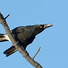 Pied Currawong, Federation Walk Nature Reserve.