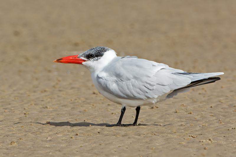 Caspian Tern, Unnamed Island, The Broadwater, Gold Coast, QLD.