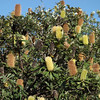 Banksia integrifolia, Coast Banksia, Federation Walk Coastal Reserve, Gold Coast, Queensland.