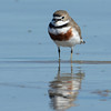 Double-banded Plover, Unnamed Island. The Broadwater, Gold Coast, Queensland.