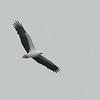 White-bellied Sea Eagle, Broadwater, Gold Coast, QLD.
