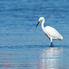 Little Egret, Unnamed Island, The Broadwater, Gold Coast, QLD.