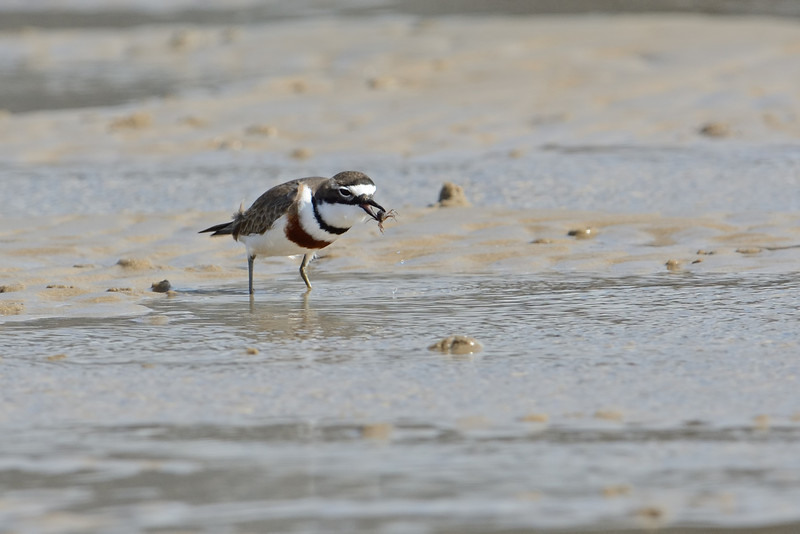 Double-banded Plover (Charadrius bicinctus), In breeding plumage With a crab. Unnamed Island. The Broadwater, Gold Coast, Queensland.